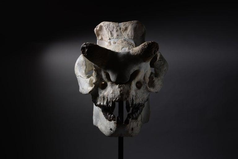 Other Huge Megacerops 'large-horned face' Fossil Skull For Sale