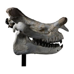 Huge Megacerops 'large-horned face' Fossil Skull