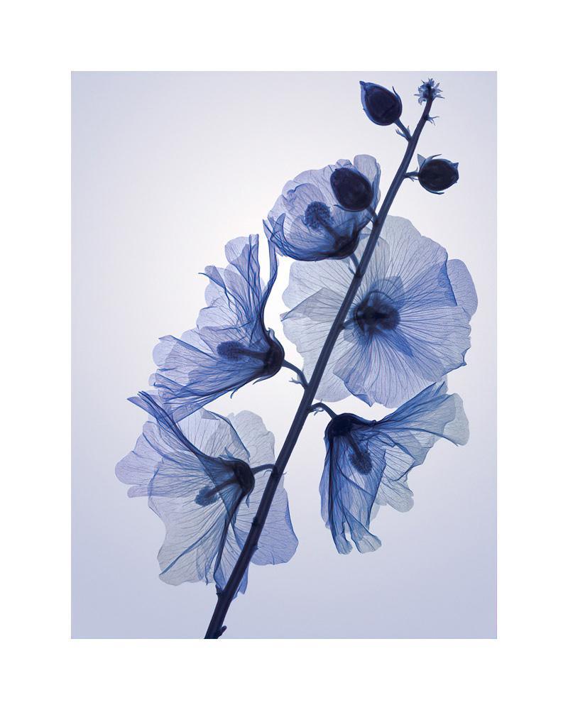 葵 Genus Alcia - contemporary hahnemuhle xogram floral hollyhocks print
