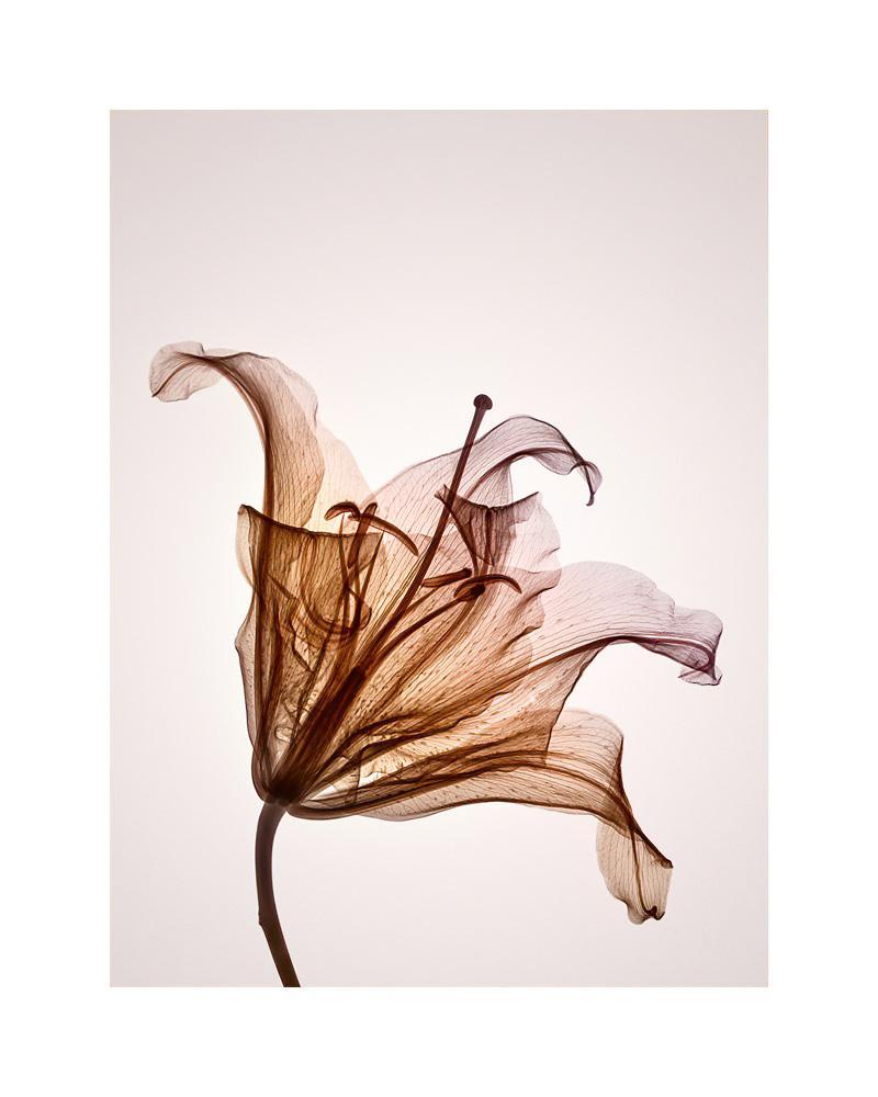 萓 Genus Hermerocallis - contemporary hahnemuhle xogram print