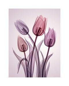 チューリップ Genus Tulipa - contemporary hahnemuhle xogram print tulips