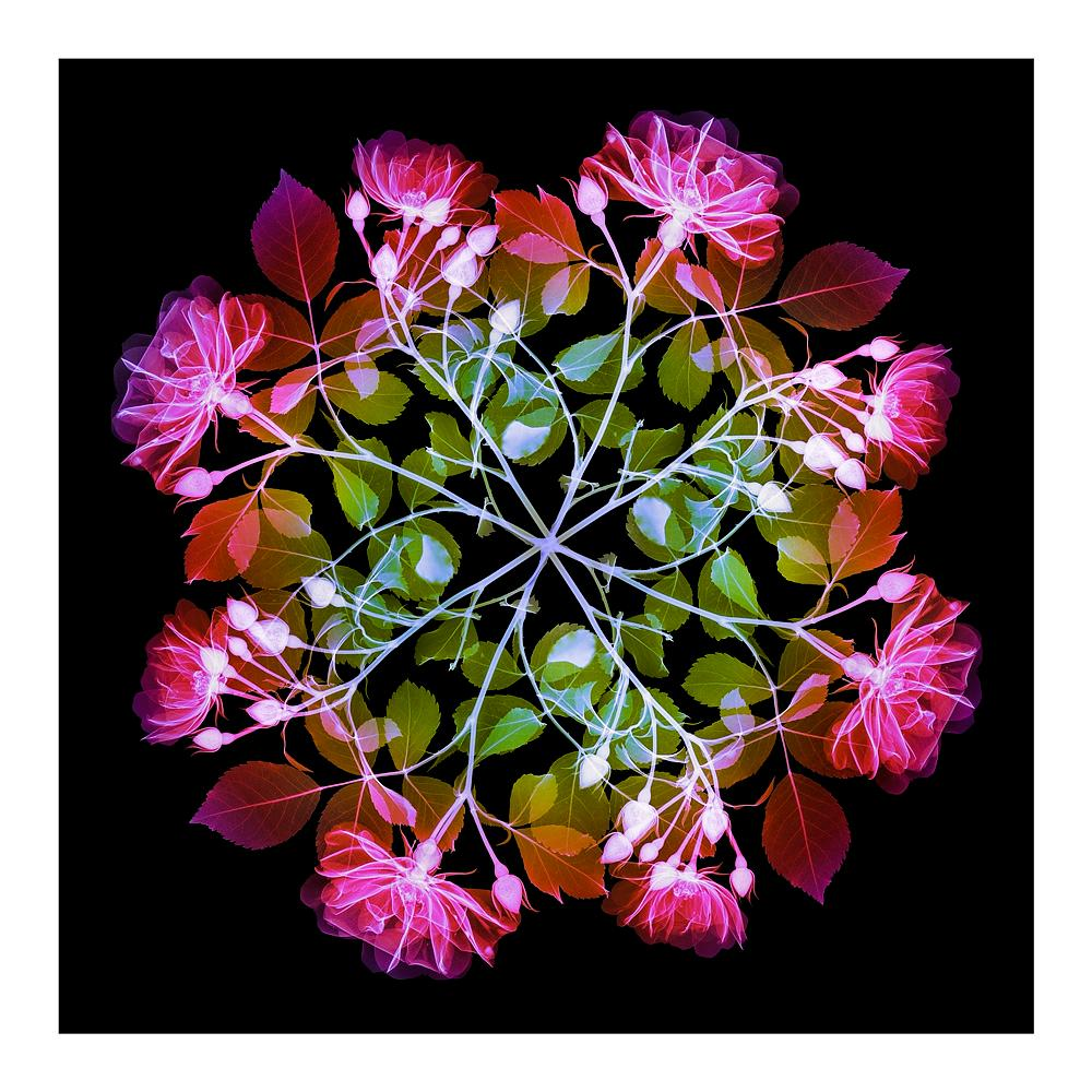 Polychromatic Fiori Rose I - contemporary floral multi-colour xogram print