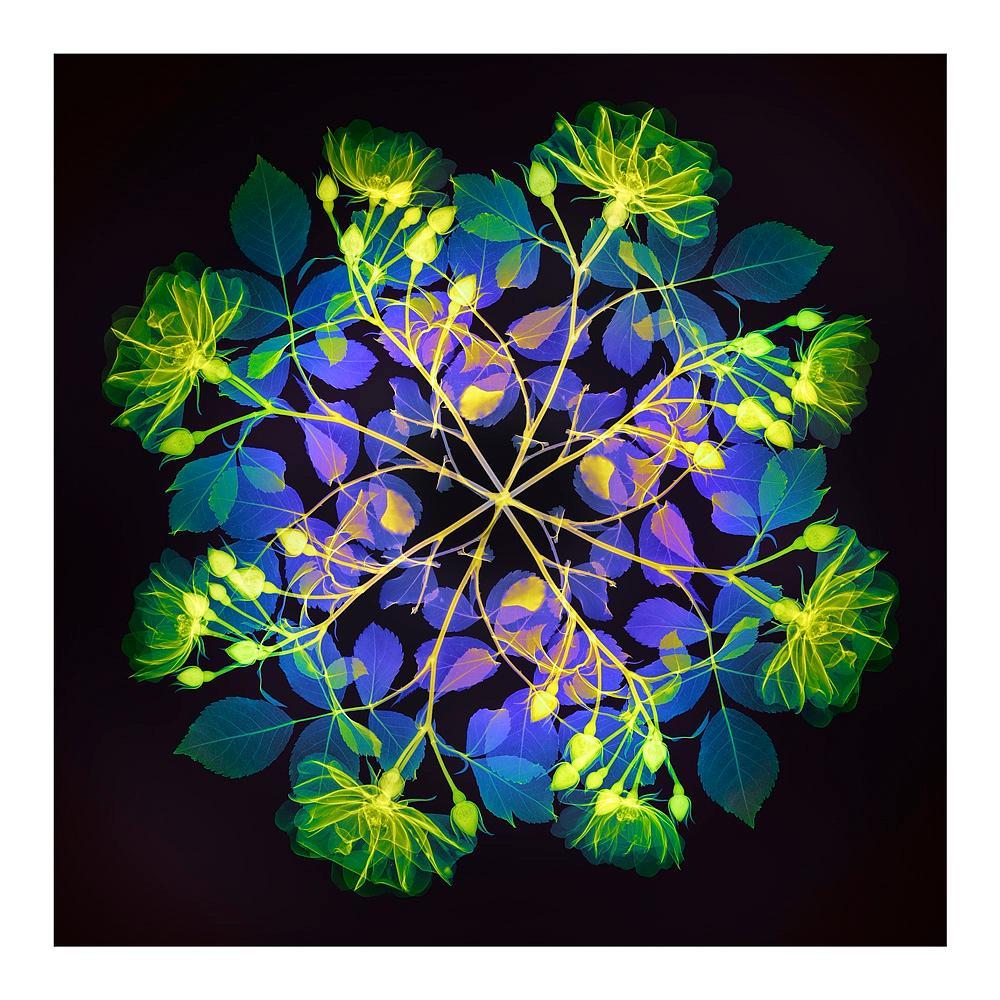 Polychromatic Fiori Rose II - contemporary floral multi-colour xogram print