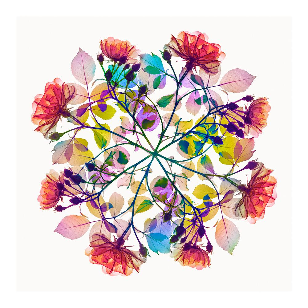 Polychromatic Fiori Rose IV - contemporary floral multi-colour xogram print