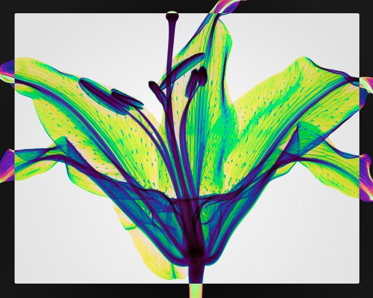 Hugh Turvey Still-Life Print - Stargazer - contemporary inkjet xogram x-ray photo chromaluxe print