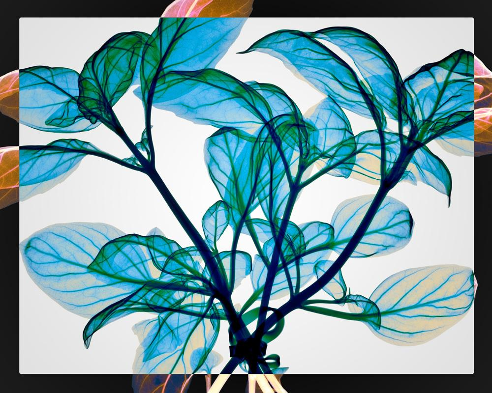 Tied Basil - contemporary blue leaves inkjet xogram x-ray photo chromaluxe print