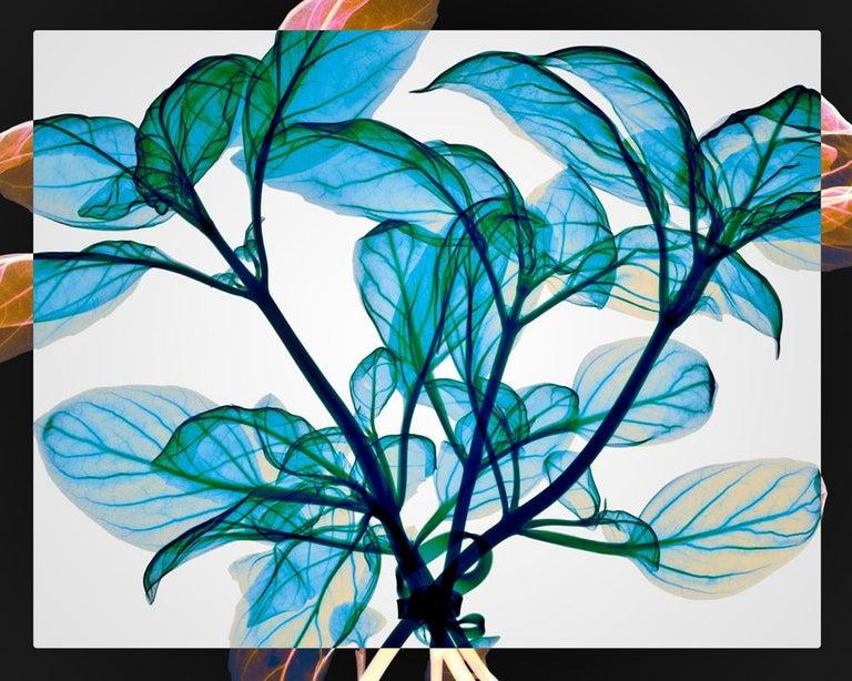 Hugh Turvey Still-Life Print - Tied Basil - contemporary blue leaves inkjet xogram x-ray photo chromaluxe print
