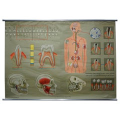 Human Body Poster Rollable Wall Chart Print Healthy Teeth Jaw Head