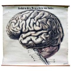 Human Brain, Vintage Anatomical Educational Chart
