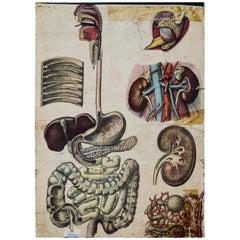Human Digestive System, Vintage Wall Chart