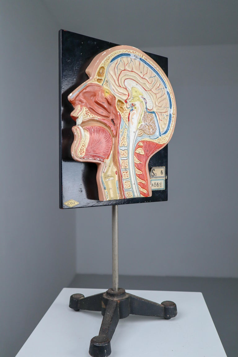 20th Century Human Half Head Anatomical on Plaster, Wood and Metal Base Czech Republic, 1950s For Sale