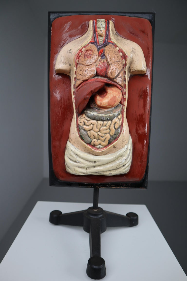 Human medical anatomical Torso model wood and plaster on metal base Czech Republic 1920s . Small damages and repairs. But overall great shape . Size W 8.5'' x H 19