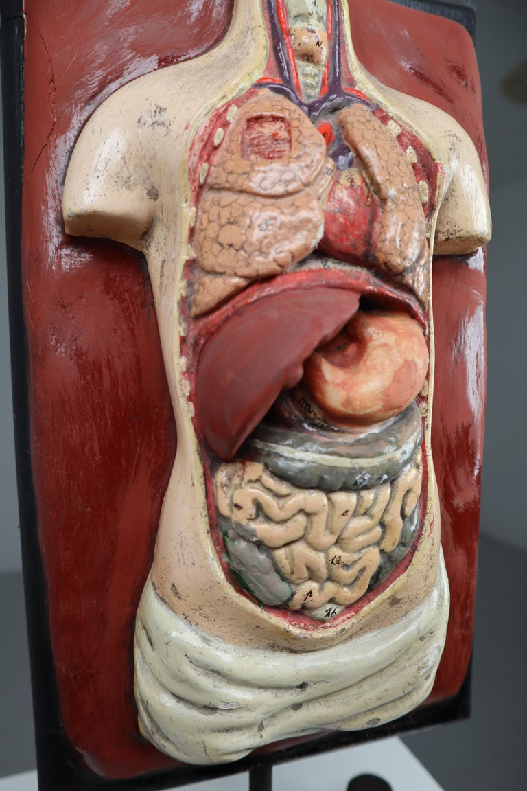 Human Medical Anatomical Torso Model Wood and Metal Base Czech Republic, 1920s For Sale 2