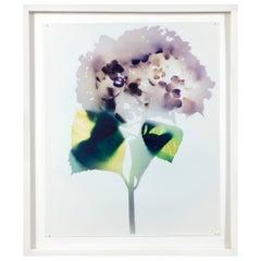 """Hydrangea"" Photogram by Millie Falcaro"