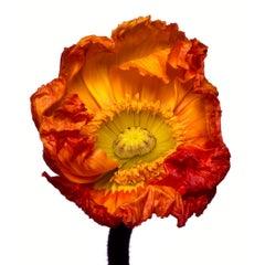 Iceland Poppy 'Z' by Michael Zeppetello