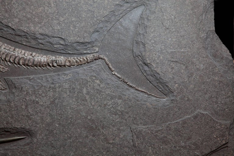Ichthyosaur Fossil Plate, Germany. 180 Million Years Old. In Excellent Condition For Sale In London, GB