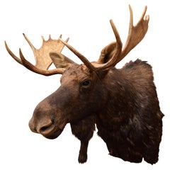 Idaho Shiras Moose Mount