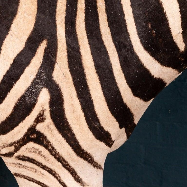 Impressive Late 20th Century Full Mount Taxidermy Zebra For Sale 6