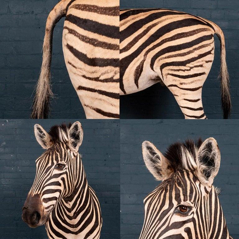 Impressive Late 20th Century Full Mount Taxidermy Zebra For Sale 14