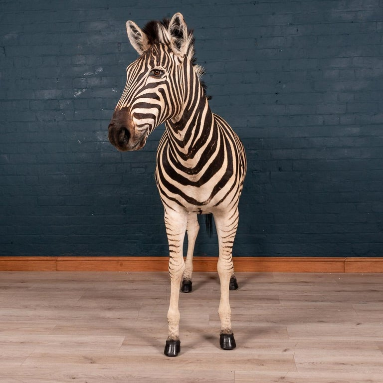 * * *Our company policy is not to ship any taxidermy items to the USA. We apologise from any inconvenience this may cause. * * *  A lovely African taxidermy Burchell's full mount zebra, extremely well preserved, freestanding.   The plains zebra