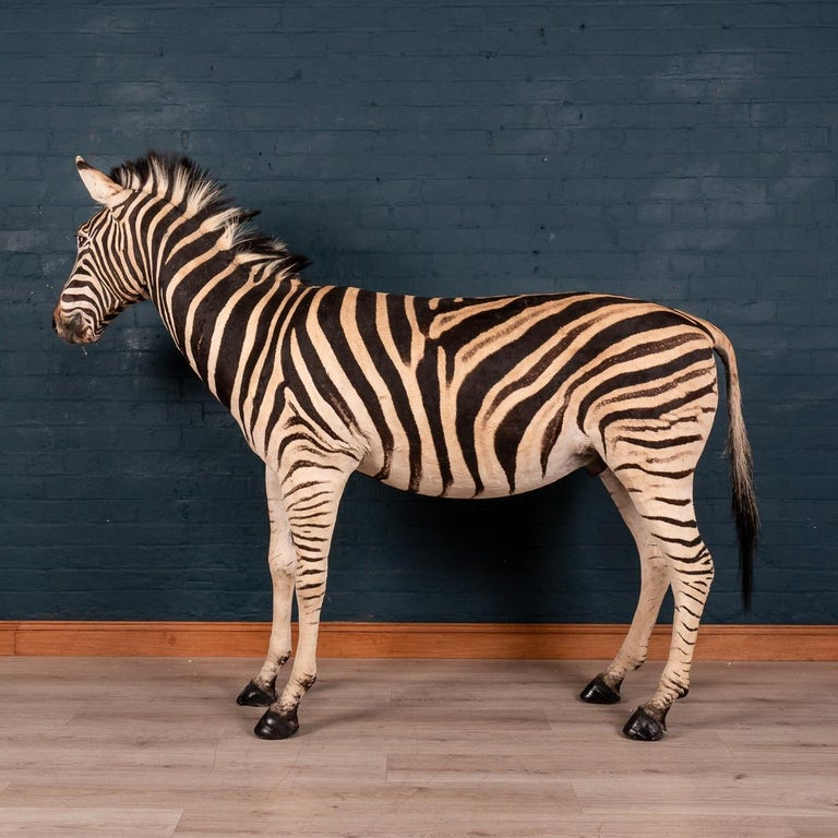 Impressive Late 20th Century Full Mount Taxidermy Zebra In Good Condition For Sale In London, GB
