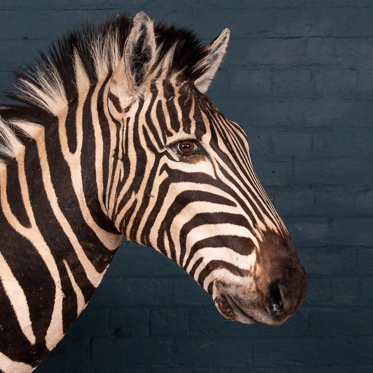 Impressive Late 20th Century Full Mount Taxidermy Zebra For Sale 1