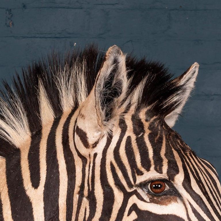 Impressive Late 20th Century Full Mount Taxidermy Zebra For Sale 2