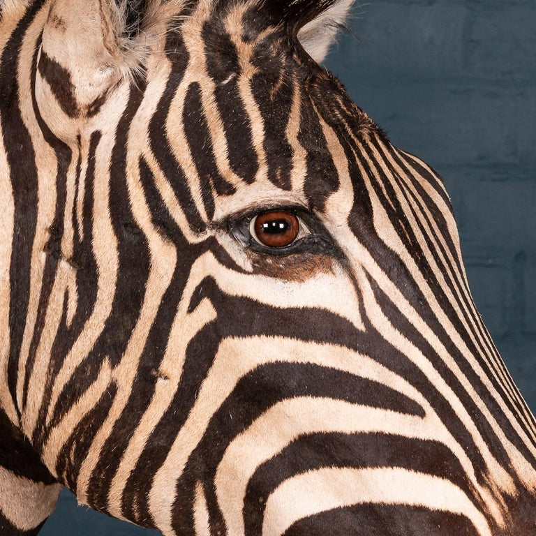 Impressive Late 20th Century Full Mount Taxidermy Zebra For Sale 3