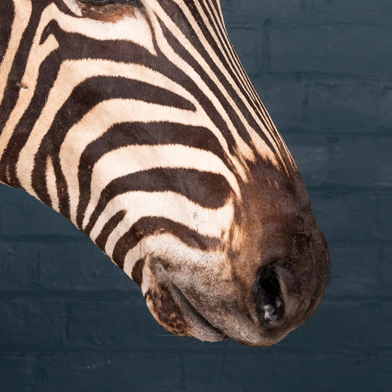 Impressive Late 20th Century Full Mount Taxidermy Zebra For Sale 4