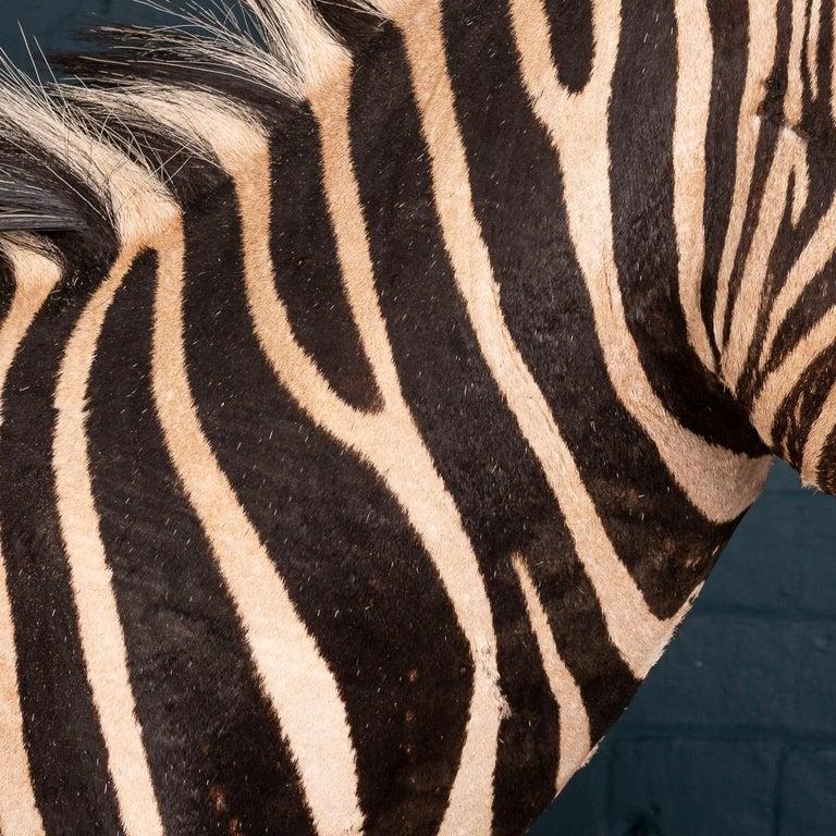 Impressive Late 20th Century Full Mount Taxidermy Zebra For Sale 5