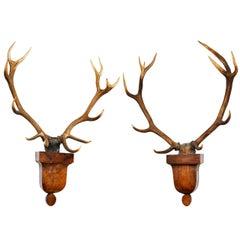Impressive Pair of Deer Trophies Mounted on Mid-19th Century, Rosewood Brackets