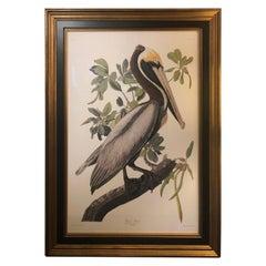 Impressively Large Beautifully Framed Brown Pelican Audubon Print