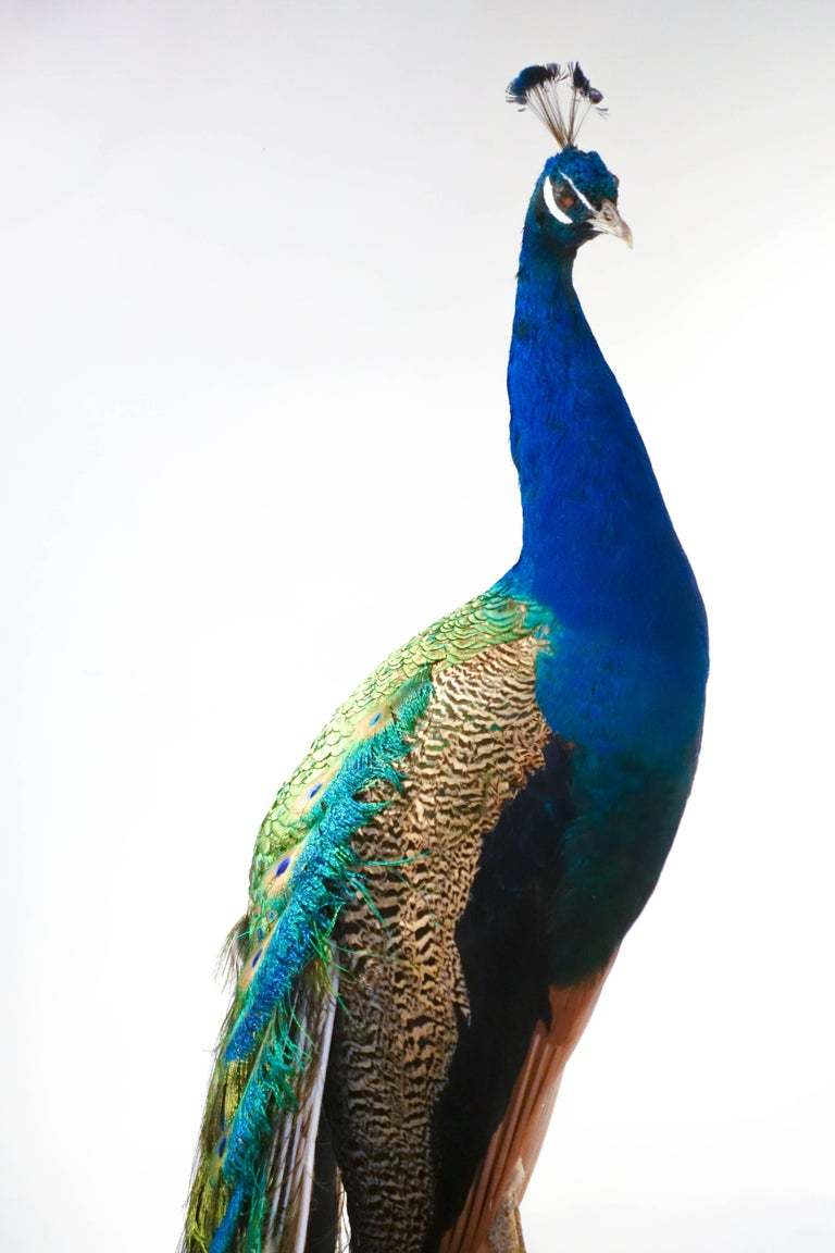 American Indian Blue Peacock For Sale