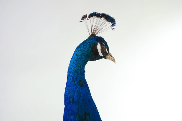 Wood Indian Blue Peacock For Sale