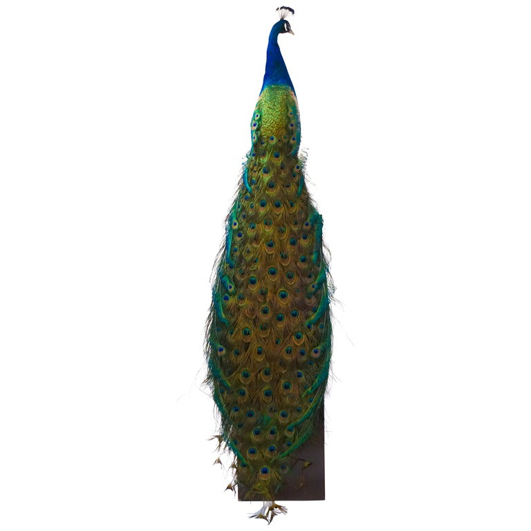 Indian Blue Peacock For Sale