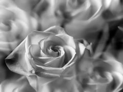 The Labyrinth - Les Roses Ouvert, Medium Format Photography, Aluminum, Signed