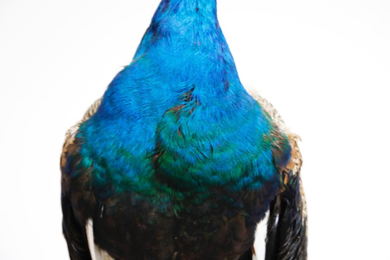 Iridescent Blue and Green Peacock Taxidermy Wall Mount Sculptures For Sale 3