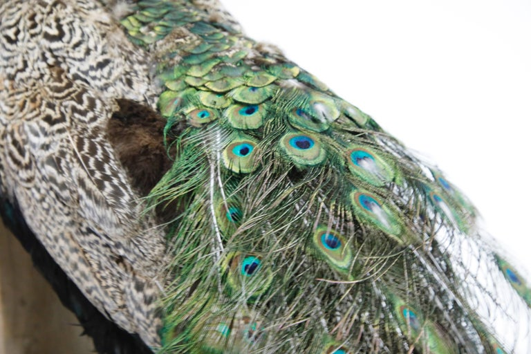 Iridescent Blue and Green Peacock Taxidermy Wall Mount Sculptures For Sale 6