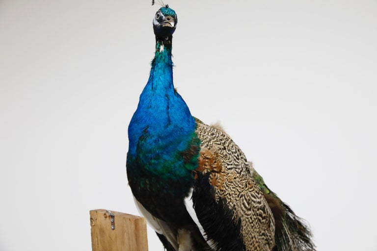 Iridescent Blue and Green Peacock Taxidermy Wall Mount Sculptures For Sale 8