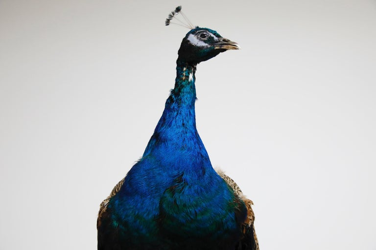 Iridescent Blue and Green Peacock Taxidermy Wall Mount Sculptures For Sale 9