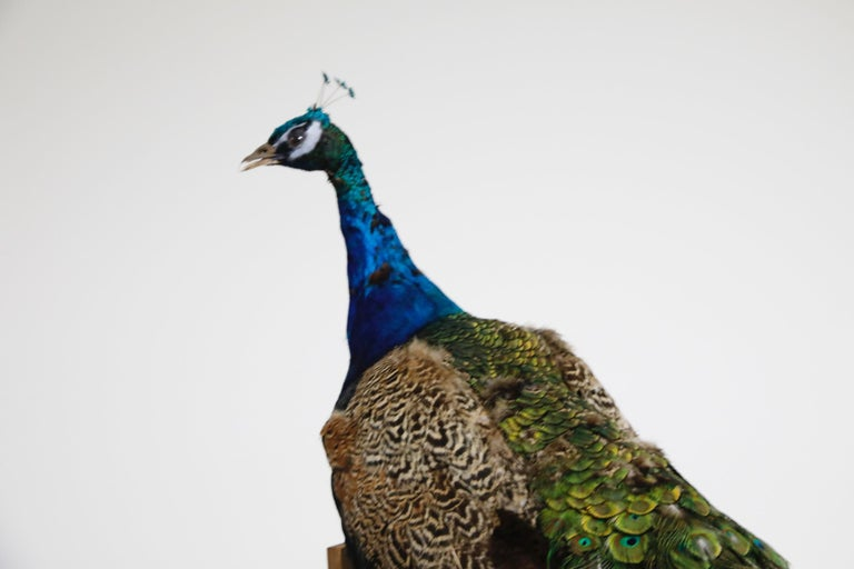 Iridescent Blue and Green Peacock Taxidermy Wall Mount Sculptures For Sale 10