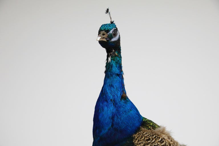Iridescent Blue and Green Peacock Taxidermy Wall Mount Sculptures For Sale 12