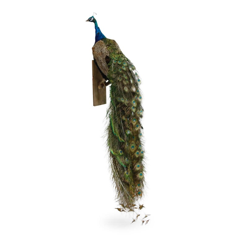 An incredible pair of peacock taxidermy with gorgeous iridescent blue and green coloration. The example photographed is mounted on an rectangular wooden base and branch stem and can be displayed by placement on a wall, mantelpiece or Stand.  The