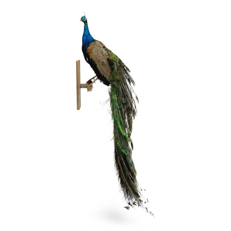 Modern Iridescent Blue and Green Peacock Taxidermy Wall Mount Sculptures For Sale