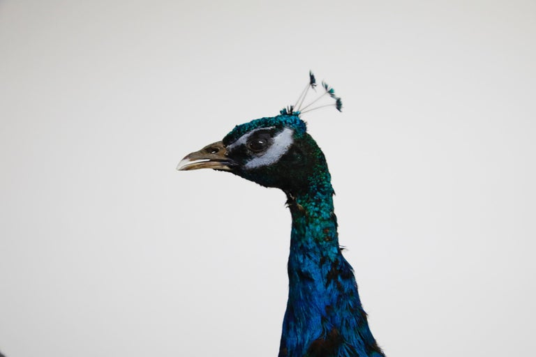Iridescent Blue and Green Peacock Taxidermy Wall Mount Sculptures In Good Condition For Sale In Los Angeles, CA