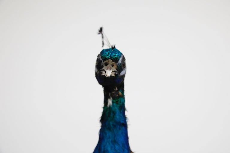 Contemporary Iridescent Blue and Green Peacock Taxidermy Wall Mount Sculptures For Sale