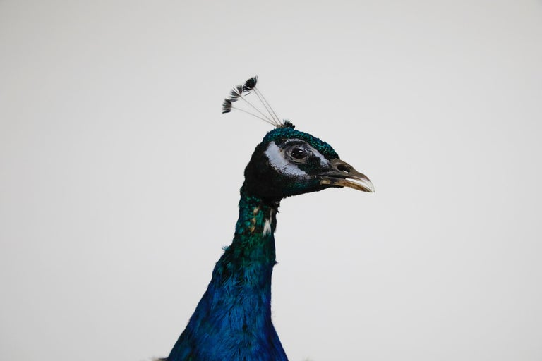 Wood Iridescent Blue and Green Peacock Taxidermy Wall Mount Sculptures For Sale