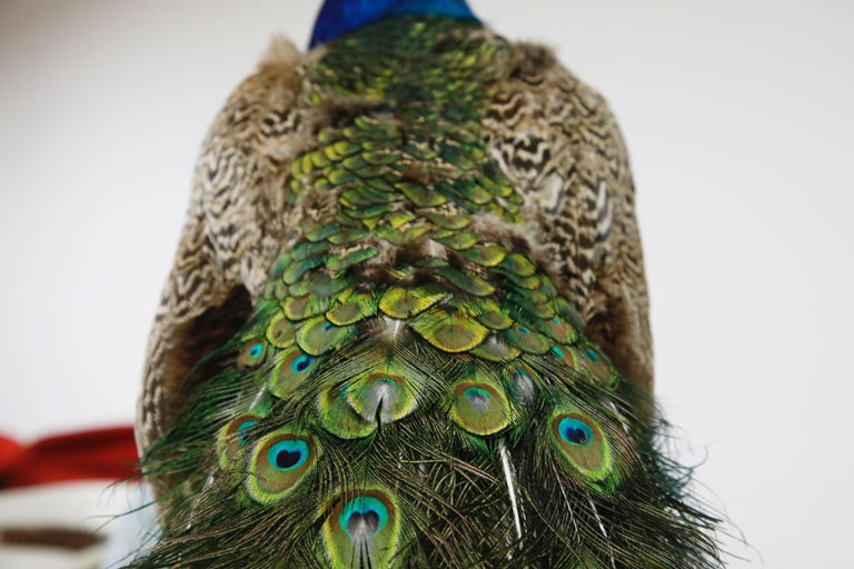 Iridescent Blue and Green Peacock Taxidermy Wall Mount Sculptures For Sale 1