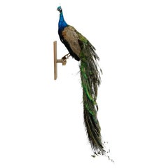 Iridescent Blue and Green Peacock Taxidermy Wall Mount Sculptures