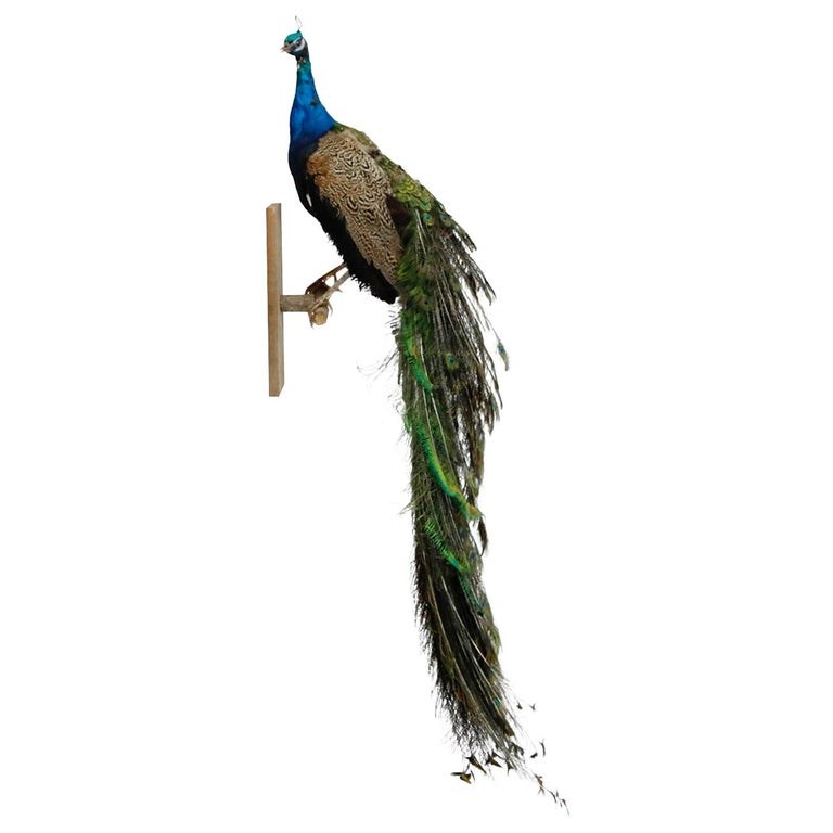Iridescent Blue and Green Peacock Taxidermy Wall Mount Sculptures For Sale
